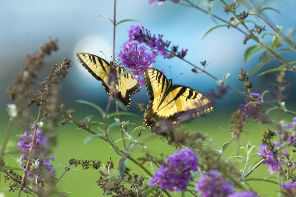 Eastern Tiger Swallowtail Butterflies (Males)